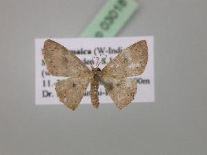 (Cyclophora sp. 1J - BC ZSM Lep 03018)  @13 [ ] CreativeCommons - Attribution Non-Commercial Share-Alike (2010) Axel Hausmann SNSB, Zoologische Staatssammlung Muenchen