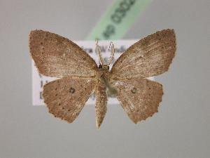 (Cyclophora sp. 2J - BC ZSM Lep 03022)  @13 [ ] CreativeCommons - Attribution Non-Commercial Share-Alike (2010) Axel Hausmann SNSB, Zoologische Staatssammlung Muenchen