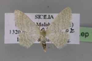 ( - BC ZSM Lep 12503)  @13 [ ] Copyright (2010) Axel Hausmann/Bavarian State Collection of Zoology (ZSM) SNSB, Zoologische Staatssammlung Muenchen
