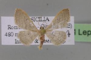 ( - BC ZSM Lep 12504)  @13 [ ] Copyright (2010) Axel Hausmann/Bavarian State Collection of Zoology (ZSM) SNSB, Zoologische Staatssammlung Muenchen