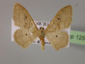 (Idaea rubraria - BC ZSM Lep 12591)  @14 [ ] Copyright (2010) Axel Hausmann/Bavarian State Collection of Zoology (ZSM) SNSB, Zoologische Staatssammlung Muenchen