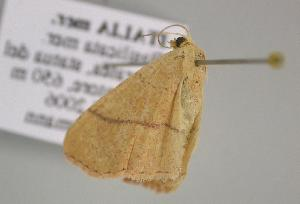 (Cyclophora suppunctaria - BC ZSM Lep 12650)  @13 [ ] CreativeCommons - Attribution Non-Commercial Share-Alike (2010) Axel Hausmann SNSB, Zoologische Staatssammlung Muenchen