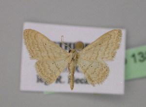 (Scopula rhodinariaAH01EtYe - BC ZSM Lep 13800)  @14 [ ] CreativeCommons - Attribution Non-Commercial Share-Alike (2010) Axel Hausmann SNSB, Zoologische Staatssammlung Muenchen