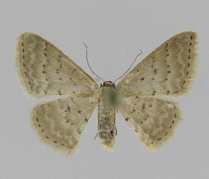 (Idaea philocosma - BC EF Lep 00823)  @14 [ ] Copyright (2010) Egbert Friedrich Research Collection of Egbert Friedrich