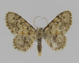 (Idaea ferrilineaEF02 - BC EF Lep 00827)  @14 [ ] Copyright (2010) Egbert Friedrich Research Collection of Egbert Friedrich