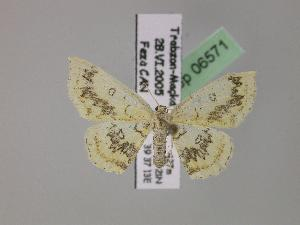 (Cyclophora annularia - BC ZSM Lep 06571)  @15 [ ] Copyright (2010) Axel Hausmann/Bavarian State Collection of Zoology (ZSM) SNSB, Zoologische Staatssammlung Muenchen