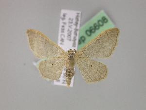 ( - BC ZSM Lep 06608)  @14 [ ] Copyright (2010) Axel Hausmann/Bavarian State Collection of Zoology (ZSM) SNSB, Zoologische Staatssammlung Muenchen