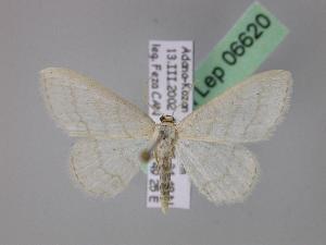 (Idaea subsericeata - BC ZSM Lep 06620)  @15 [ ] Copyright (2010) Axel Hausmann/Bavarian State Collection of Zoology (ZSM) SNSB, Zoologische Staatssammlung Muenchen