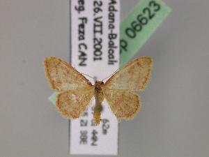 (Idaea purpureomarginata - BC ZSM Lep 06623)  @14 [ ] Copyright (2010) Axel Hausmann/Bavarian State Collection of Zoology (ZSM) SNSB, Zoologische Staatssammlung Muenchen