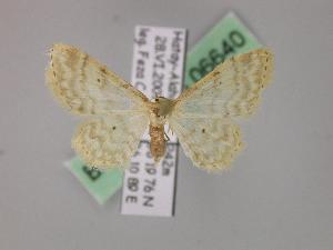 ( - BC ZSM Lep 06640)  @14 [ ] Copyright (2010) Axel Hausmann/Bavarian State Collection of Zoology (ZSM) SNSB, Zoologische Staatssammlung Muenchen