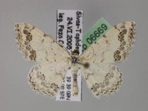 (Scopula drenowskii - BC ZSM Lep 06669)  @15 [ ] Copyright (2010) Axel Hausmann/Bavarian State Collection of Zoology (ZSM) SNSB, Zoologische Staatssammlung Muenchen