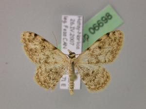 (Scopula sacraria - BC ZSM Lep 06698)  @15 [ ] Copyright (2010) Axel Hausmann/Bavarian State Collection of Zoology (ZSM) SNSB, Zoologische Staatssammlung Muenchen