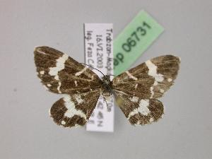 (Trichodezia - BC ZSM Lep 06731)  @15 [ ] Copyright (2010) Axel Hausmann/Bavarian State Collection of Zoology (ZSM) SNSB, Zoologische Staatssammlung Muenchen