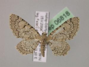 ( - BC ZSM Lep 06818)  @13 [ ] Copyright (2010) Axel Hausmann/Bavarian State Collection of Zoology (ZSM) SNSB, Zoologische Staatssammlung Muenchen
