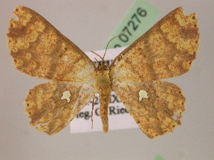 (Cyclophora AH05Pe - BC ZSM Lep 07276)  @14 [ ] CreativeCommons - Attribution Non-Commercial Share-Alike (2010) Axel Hausmann SNSB, Zoologische Staatssammlung Muenchen