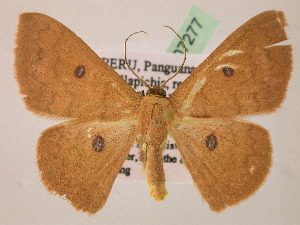 (Cyclophora AH01Pe - BC ZSM Lep 07277)  @15 [ ] CreativeCommons - Attribution Non-Commercial Share-Alike (2010) Axel Hausmann SNSB, Zoologische Staatssammlung Muenchen