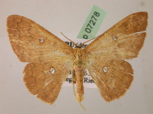 (Cyclophora AH02Pe - BC ZSM Lep 07278)  @14 [ ] CreativeCommons - Attribution Non-Commercial Share-Alike (2010) Axel Hausmann SNSB, Zoologische Staatssammlung Muenchen