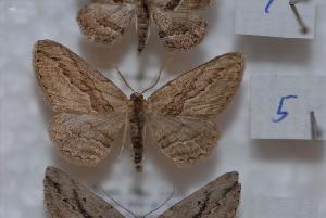 (Ekboarmia - BC ZSM Lep 09437)  @14 [ ] Copyright (2010) Axel Hausmann/Bavarian State Collection of Zoology (ZSM) SNSB, Zoologische Staatssammlung Muenchen