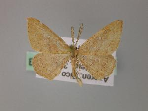 (Cyclophora maderensis - BC ZSM Lep 09451)  @14 [ ] CreativeCommons - Attribution Non-Commercial Share-Alike (2010) Axel Hausmann SNSB, Zoologische Staatssammlung Muenchen