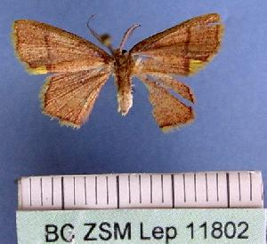 (Chrysocraspeda - BC ZSM Lep 11802)  @15 [ ] Copyright (2010) Axel Hausmann/Bavarian State Collection of Zoology (ZSM) SNSB, Zoologische Staatssammlung Muenchen