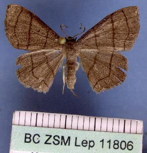 (Scopula mecysma - BC ZSM Lep 11806)  @14 [ ] Copyright (2010) Axel Hausmann/Bavarian State Collection of Zoology (ZSM) SNSB, Zoologische Staatssammlung Muenchen