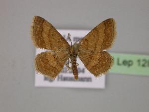 (Scopula rubiginata - BC ZSM Lep 12860)  @15 [ ] CreativeCommons - Attribution Non-Commercial Share-Alike (2010) Axel Hausmann SNSB, Zoologische Staatssammlung Muenchen