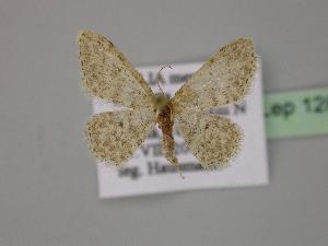 (Idaea typicata - BC ZSM Lep 12887)  @14 [ ] CreativeCommons - Attribution Non-Commercial Share-Alike (2010) Axel Hausmann SNSB, Zoologische Staatssammlung Muenchen