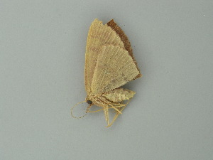 (Cyclophora illimitata - BC ZSM Lep 76619)  @11 [ ] CreativeCommons - Attribution Non-Commercial Share-Alike (2013) Axel Hausmann SNSB, Zoologische Staatssammlung Muenchen