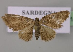 (Eupithecia cocciferata - BC ZSM Lep 14140)  @14 [ ] Copyright (2010) Axel Hausmann/Bavarian State Collection of Zoology (ZSM) SNSB, Zoologische Staatssammlung Muenchen