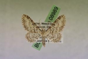 (Eupithecia denticulata - BC ZSM Lep 08989)  @14 [ ] Copyright (2010) Axel Hausmann/Bavarian State Collection of Zoology (ZSM) SNSB, Zoologische Staatssammlung Muenchen