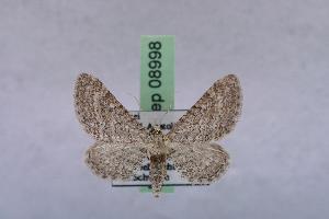 ( - BC ZSM Lep 08998)  @14 [ ] Copyright (2010) Axel Hausmann/Bavarian State Collection of Zoology (ZSM) SNSB, Zoologische Staatssammlung Muenchen