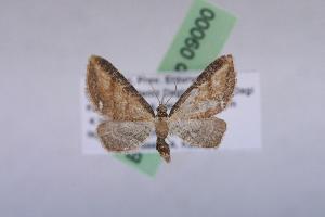 (Eupithecia marginata - BC ZSM Lep 09000)  @14 [ ] Copyright (2010) Axel Hausmann/Bavarian State Collection of Zoology (ZSM) SNSB, Zoologische Staatssammlung Muenchen
