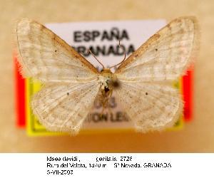 (Idaea davidi - BC ZSM Lep 09562)  @13 [ ] Copyright (2010) Axel Hausmann/Bavarian State Collection of Zoology (ZSM) SNSB, Zoologische Staatssammlung Muenchen