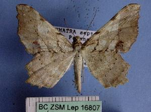 (Orsonoba - BC ZSM Lep 16807)  @13 [ ] Copyright (2010) Axel Hausmann/Bavarian State Collection of Zoology (ZSM) SNSB, Zoologische Staatssammlung Muenchen