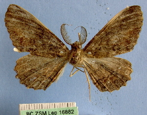 (Anamedasina - BC ZSM Lep 16882)  @11 [ ] Copyright (2010) Axel Hausmann/Bavarian State Collection of Zoology (ZSM) SNSB, Zoologische Staatssammlung Muenchen