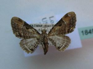( - BC ZSM Lep 18498)  @11 [ ] Copyright (2010) Axel Hausmann/Bavarian State Collection of Zoology (ZSM) SNSB, Zoologische Staatssammlung Muenchen