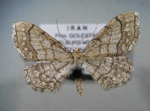 (Idaea moniliataAH01Ir - BC NP 0051)  @13 [ ] Copyright (2010) Norbert Poell Research Collection of Norbert Poell
