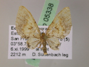 (Eupithecia AH75Ec - BC ZSM Lep 05338)  @11 [ ] CreativeCommons - Attribution Non-Commercial Share-Alike (2010) Axel Hausmann SNSB, Zoologische Staatssammlung Muenchen