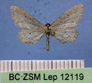 ( - BC ZSM Lep 12119)  @14 [ ] Copyright (2010) Axel Hausmann/Bavarian State Collection of Zoology (ZSM) SNSB, Zoologische Staatssammlung Muenchen