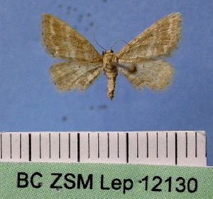 (Idaea fractilineata subrufaria - BC ZSM Lep 12130)  @11 [ ] Copyright (2010) Axel Hausmann/Bavarian State Collection of Zoology (ZSM) SNSB, Zoologische Staatssammlung Muenchen