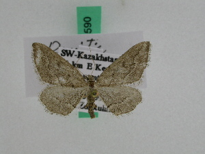 (Ramitia - BC ZFMK Lep 00590)  @13 [ ] Copyright (2010) Dieter Stuening Zoologisches Forschungsmuseum Alexander Koenig, Bonn