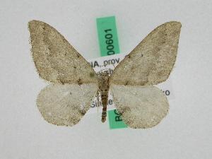 (Prometopidia - BC ZFMK Lep 00601)  @11 [ ] Copyright (2010) Dieter Stuening Zoologisches Forschungsmuseum Alexander Koenig, Bonn