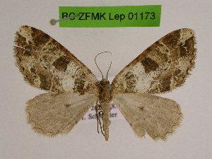 (Yazakia - BC ZFMK Lep 01173)  @14 [ ] Copyright (2014) Dieter Stuening Zoologisches Forschungsmuseum Alexander Koenig, Bonn
