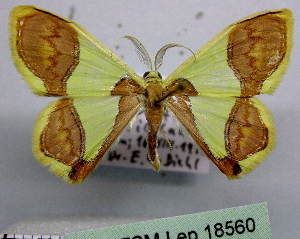 (Plutodes joiceyi - BC ZSM Lep 18560)  @15 [ ] Copyright (2010) Axel Hausmann/Bavarian State Collection of Zoology (ZSM) SNSB, Zoologische Staatssammlung Muenchen