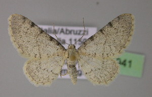 (Eupithecia carpophagata - BC ZSM Lep 21941)  @15 [ ] CreativeCommons - Attribution Non-Commercial Share-Alike (2010) Axel Hausmann SNSB, Zoologische Staatssammlung Muenchen