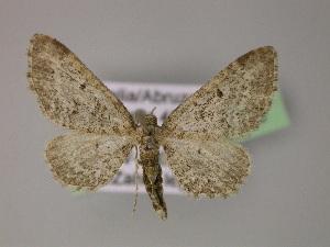 (Eupithecia druentiata - BC ZSM Lep 21958)  @14 [ ] CreativeCommons - Attribution Non-Commercial Share-Alike (2010) Axel Hausmann SNSB, Zoologische Staatssammlung Muenchen
