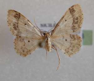 (Idaea trigeminata - BC MI 0028)  @15 [ ] Unspecified (default): All Rights Reserved  Unspecified Unspecified