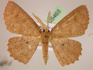 (Cyclophora ordinata - BC ZSM Lep 05465)  @15 [ ] CreativeCommons - Attribution Non-Commercial Share-Alike (2010) Axel Hausmann SNSB, Zoologische Staatssammlung Muenchen