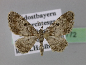 ( - BC ZSM Lep 22772)  @13 [ ] Copyright (2010) Axel Hausmann/Bavarian State Collection of Zoology (ZSM) SNSB, Zoologische Staatssammlung Muenchen