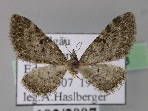 ( - BC ZSM Lep 22778)  @14 [ ] Copyright (2010) Axel Hausmann/Bavarian State Collection of Zoology (ZSM) SNSB, Zoologische Staatssammlung Muenchen